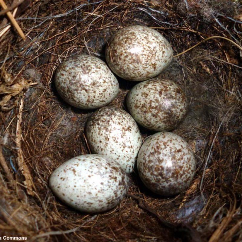 nids-oeufs-bergeronnette